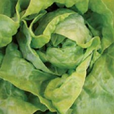 Autumn Planting WINTER LETTUCE Arctic King, 10 plants (organic) VLEA