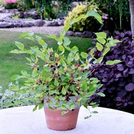 Mulberry Plant - Charlotte Russe 2 Litre Potted Plant (Non Organic) 251094