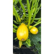 Pumpkin And Squash Plants - Patch Collection (12) (Organic)