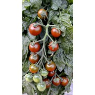 Tomato Seeds - Ruby Falls (Non Organic) (Rob Smith Veg Seed Range)